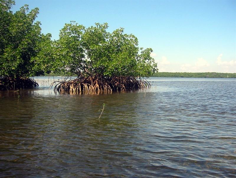 mangrove-habitat